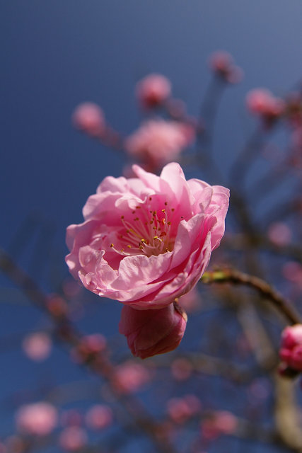 20100322-peach-hagoromo-02.jpg