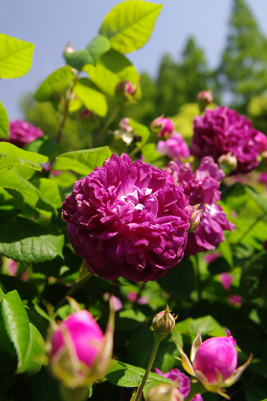 20110514-rose-richelieu.jpg