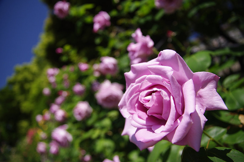 20150505-rose-bluemoon.jpg