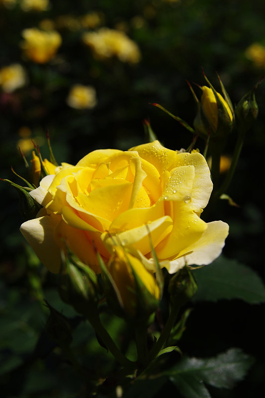 20150505-rose-goldpany.jpg