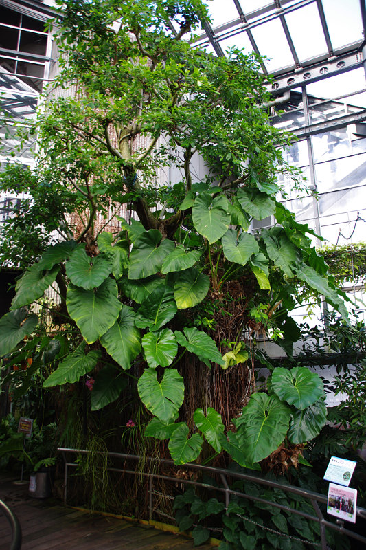 20181224-philodendron-giganteum.jpg